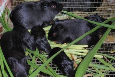 黑豚的飼養管理方法措施(特養項目)