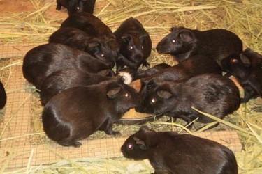 (特养创业)黑豚饲养的繁育技术