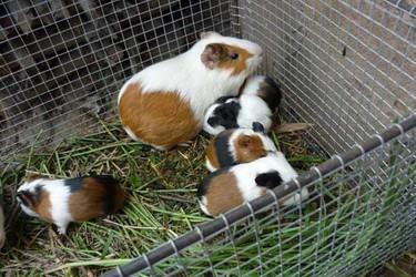 特養項目:黑豚飼養的優勢及創業投資準備工作