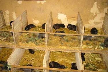 創業項目:中國黑豚飼養技術及前景
