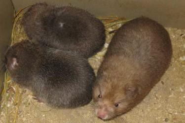 竹鼠人工饲养创业项目的十大优势(特养创业)