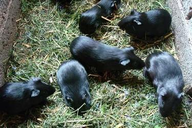 黑豚饲养的市场经济价值(豚鼠特养项目)