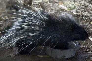 豪猪的人工饲养与繁育技术[视频]