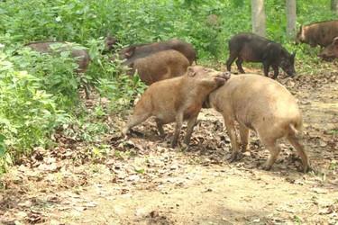 野豬養殖養護的幾種錯誤管理方法