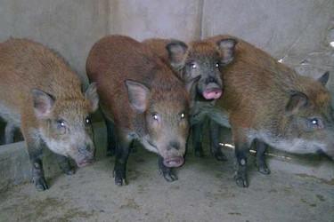 如何確保野豬品種的品質和純度?