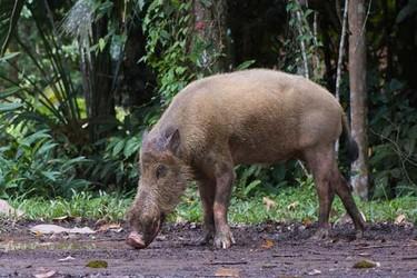 特種野豬的養殖項目特點有哪些?