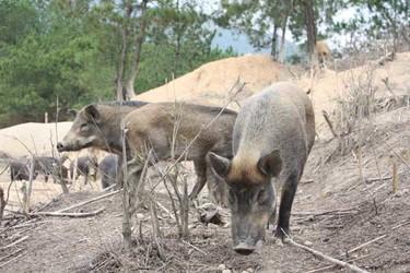 飼養特種野豬的六大誤區和注意點