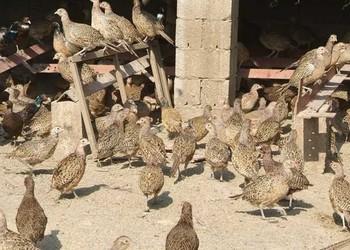 養野雞專題:商品山雞的飼養喂養管理方法