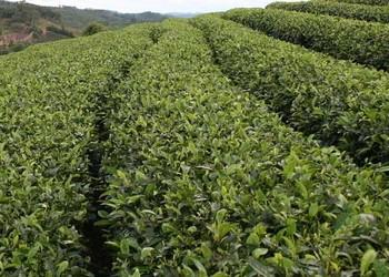 (茶葉生產)苦丁茶高產栽植技術
