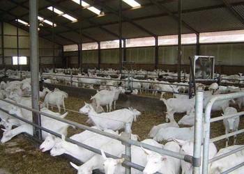 如何养羊才能赚钱多?有什么要点和技巧?