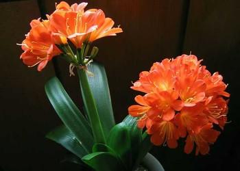 园艺花卉技术:君子兰烂根如何处理解决?