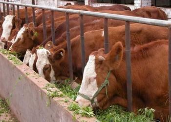 養牛專題:養牛場的選址和牛舍布局