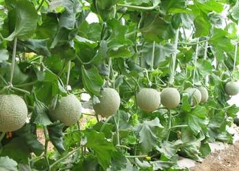 香瓜的栽種技術管理介紹
