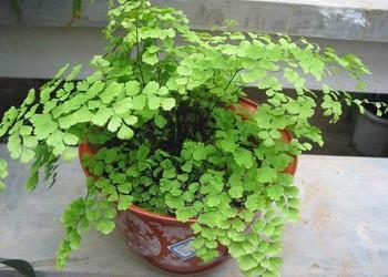 園藝花木:鐵線蕨養殖時要注意哪些問題?