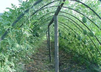 冬季怎樣栽種西瓜?