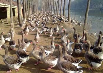 家禽科技:夏季养鹅的管理技术措施