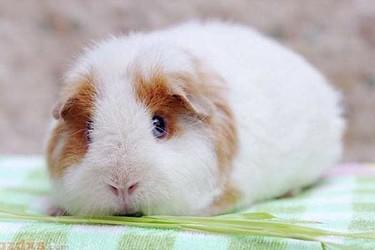 彩豚喂养/养殖技术【宠物特种养殖专题】