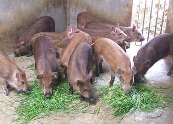 如何認識特種野豬及其開發價值?