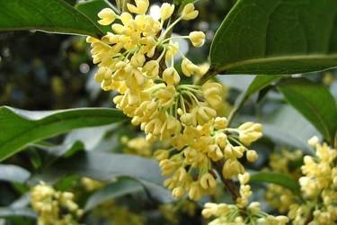 苗木专题:桂花树栽培种养技术