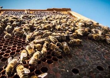 蜜蜂的生命周期與發育過程