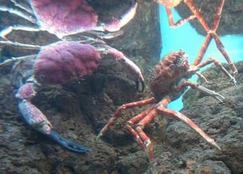 """海蟹傳說:""""巨型殺人蟹""""真的能殺人嗎?"""