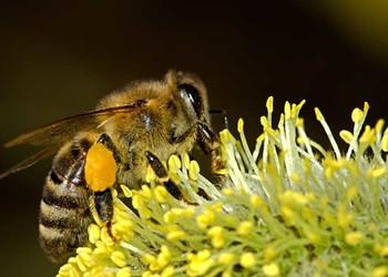 養蜂專題:探索蜜蜂采蜜的勞作過程