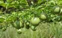 種植創業:栽種百香果的市場前景怎么樣?