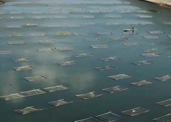 【特種養魚】大面積水產養殖如何正確的除蟲?