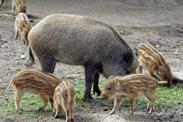野豬專題:如何為野豬選配優良飼料?
