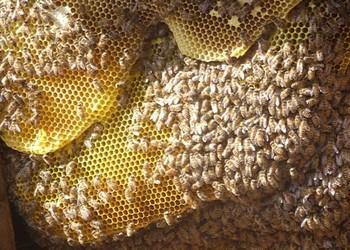 中蜂饲养管理:如何使蜂群免受冬季饥饿?