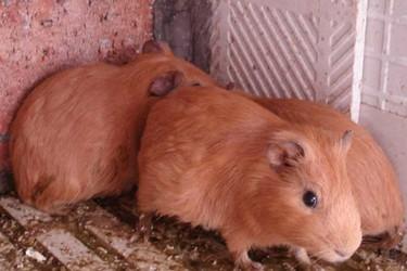 特種養殖:黃豚飼養場地的建造方法