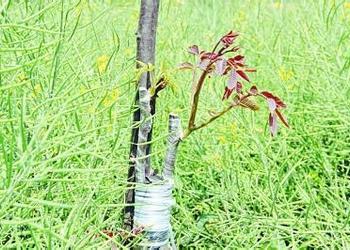 低產核桃樹的高接換種提優技術[視頻]