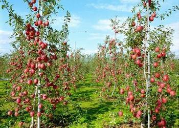 创业故事:嫁接的樱桃结果快又好吃[视频]
