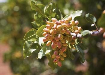 【果树适种环境】哪些地方主产开心果?