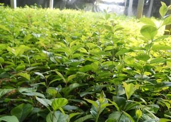 花木技術:流蘇樹(茶葉樹)扦插方法