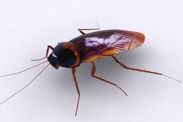 蟑螂怕什么天敌?(农业生物科普)