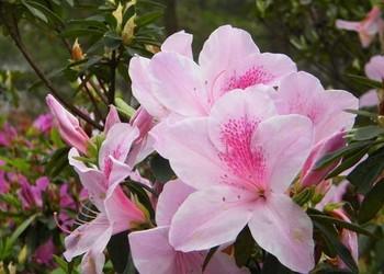 杜鹃花的盆栽方法、室外栽种技术和注意事项
