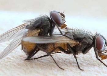 (農業科普)蒼蠅的壽命有多長?