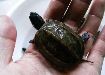 特种水产乌龟养殖:中华草龟的饲养方法