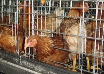 不同阶段时期与用途的鸡笼制作方法