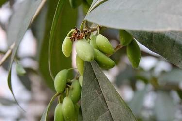 花木专题:桂花种子的采集、播种及管理