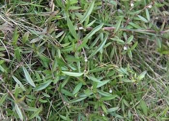 半枝蓮和白花蛇舌草有什么作用?(藥膳專題)