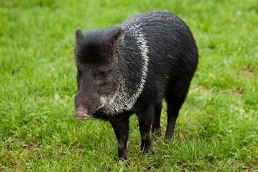 野豬工人養殖市場前景及經濟價值怎樣?