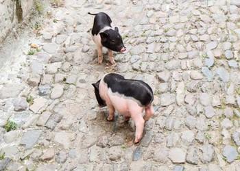 寵物豬的壽命有多長?(家畜養殖技術)