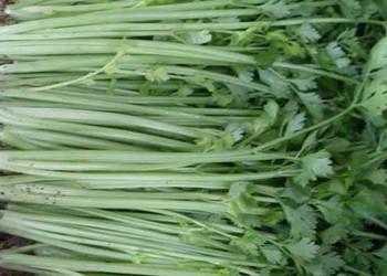 冬季芹菜的高效栽植種養技術【蔬菜專題】
