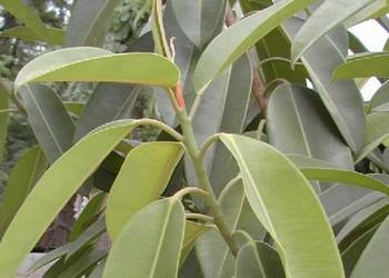 花木技術:橡皮樹發生黃葉掉葉子如何處理解決?