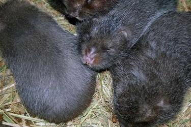 竹鼠的饲养喂养成本预算(特养创业)