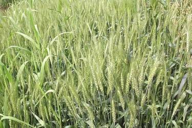 小麥栽植種養中硬草的鋤草技術