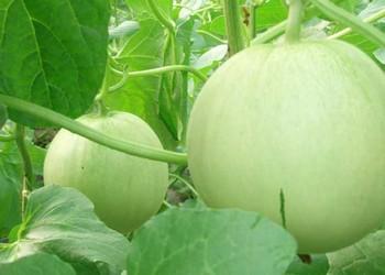 【農技農藝】香瓜的高產栽植技術介紹