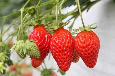 視頻:這位大哥創業賣盆栽草莓,一年種植12萬盆被搶空!